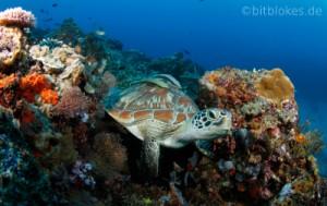Suppenschildkroete im Korallenriff Teaser