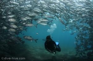 Schwarm Jackfish