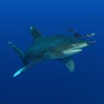 Video des kürzlichen Haiangriffs im Roten Meer / Ägypten / Brother Islands