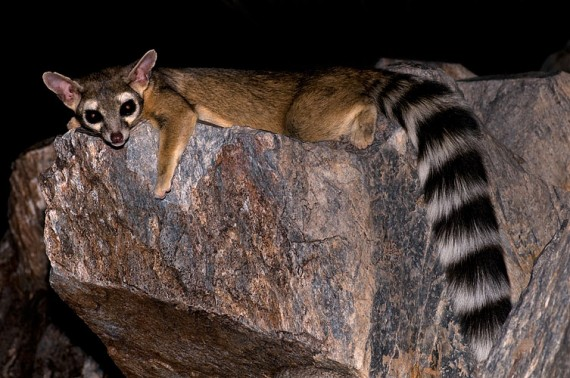 Raring Ringtail? (Quelle:  Robertbody at en.wikipedia)