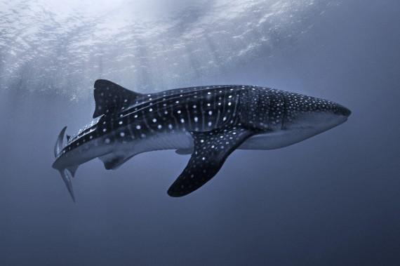 Walhai - ein bisschen mit den Farben gespielt