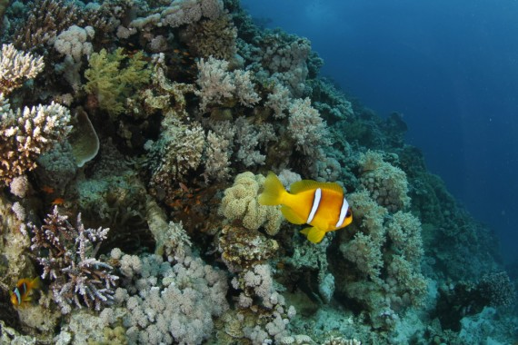 Clownfisch im Riff