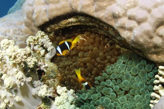 Clownfische mit Koralle