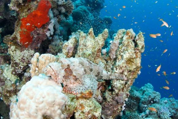 Scorpionfish (Drachenkopf) - gibt es auch in der Wallpaper-Sektio