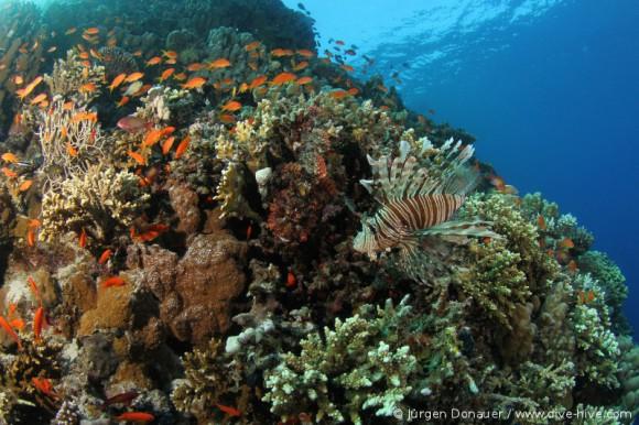 Rotfeuerfisch und links daneben ein getarnter Drachenkopf