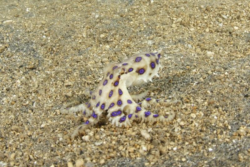 Blue Ringed Octopus Price