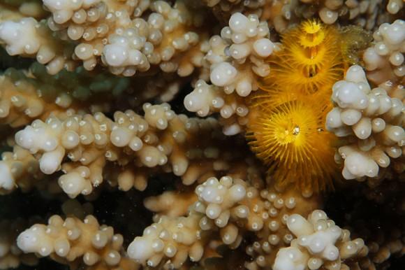 Röhrenwurm in Koralle (F22, 1/250, ISO 200)