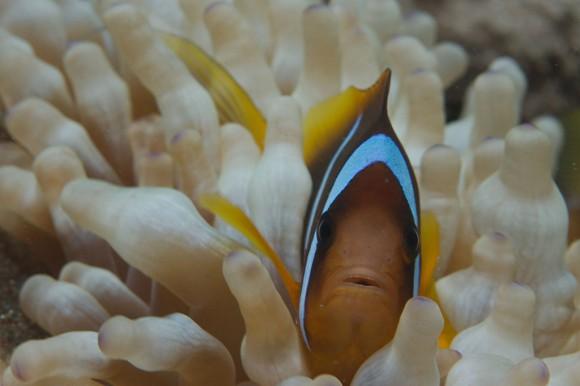 Makro: Clownfish