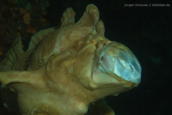 Anglerfisch / Frogfish