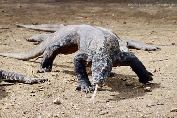 Laufender Komodo-Drachen