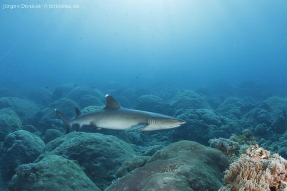 Weißspitzenriffhai in zirka zehn Metern Tiefe