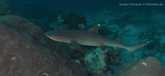 Weißspitzenriffhai in zirka 15 Metern Tiefe