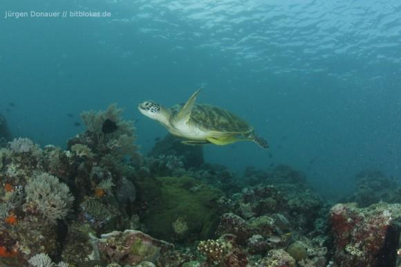 Schildkröte in zirka fünf Metern Tiefe - schon etwas in der Abenddämmerung
