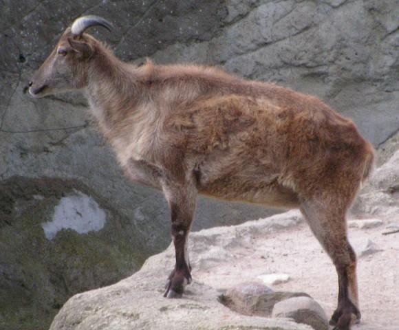 Tahr (Quelle: de.wikipedia.org, Foto von Michail Jungierek)