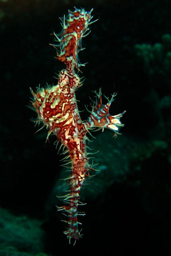 Geisterpfeiffenfisch mit HDR