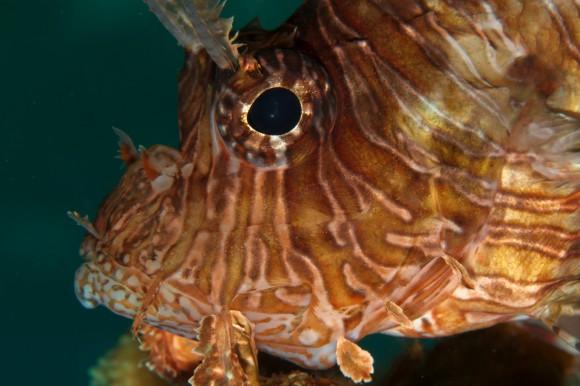 HDR: Rotfeuerfisch