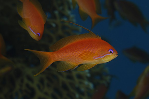 Anthias: Makro