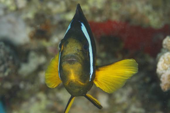 Der wahrscheinlich hässlichste Clownfish der Welt ...