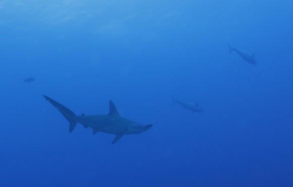 Hammerhai (zirka 3 Meter)