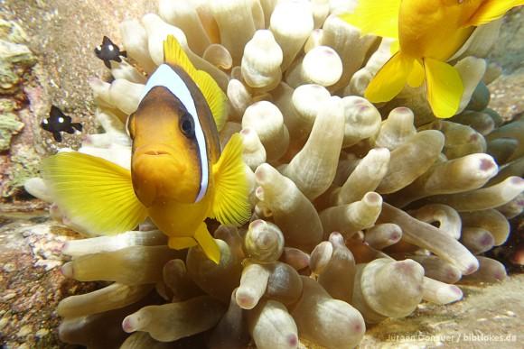 Clownfisch beschützt sein Anemone