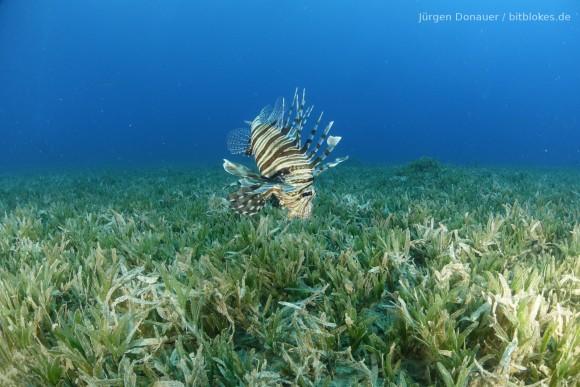 Rotfeuerfisch im Seegras