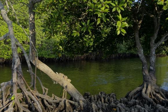 Mangroven auf Nusa Lembongan