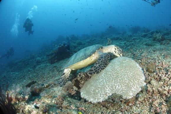 Unterwasserschildkröte bei der Brotzeit