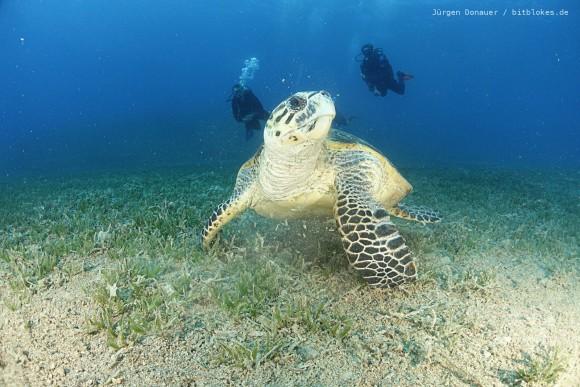 Meeres-Schildkröte und Taucher