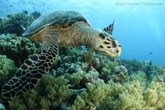 Meeresschildkröte einer vorherigen Safari