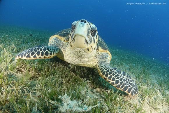 Unterwasser-Schildkröte in Bannerfish Bay starrt mich an