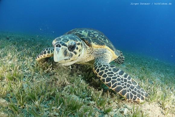 Meeres-Schildkröte lässt sich nicht stören