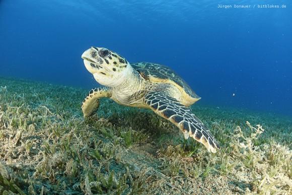 Meeres-Schildkröte in Bannerfish Bay
