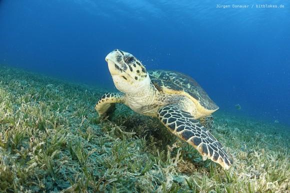 Meeres-Schildkröte