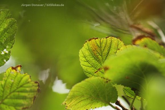Blätter: Übergang von Sommer zu Herbst