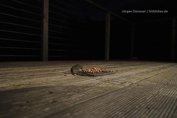 Maus an den Nüssen