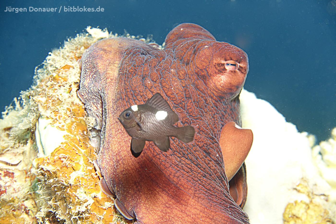 Kalmar Oktopus