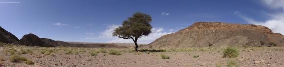 Akazie mitten in der Wüste