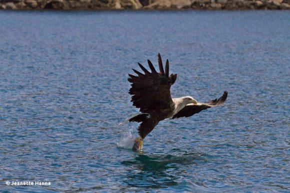 Der Seeadler schnappt sich den Fisch (© Jeanette Hanna)