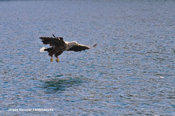 Der Seeadler kommt