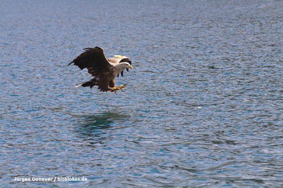 Der Seeadler setzt an