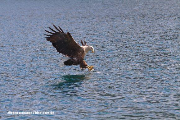 Der Seeadler schnappt sich den Fisch
