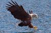 Seeadler schnappt Fisch – eine Serie aus den Bildern dreier Fotografen
