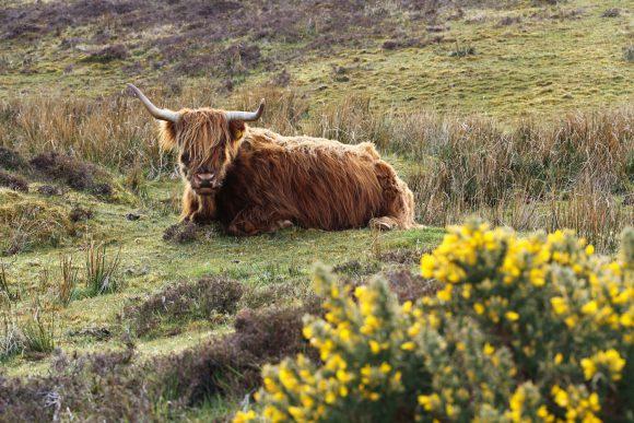 Dieses schottische Hochlandrind ist sauber und hat mit Dirty COW gar nichts am Hut