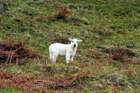 Dieses Lamm hat geschwiegen ...