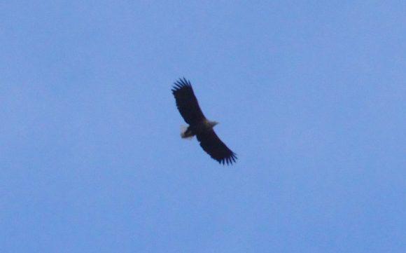 Seeadler - hoch oben in der Luft