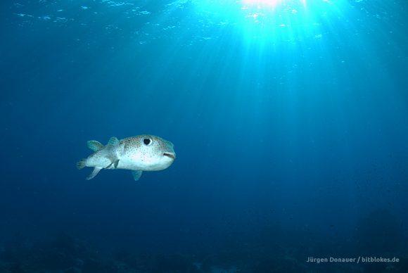 Ein glücklich aussehender Kugelfisch