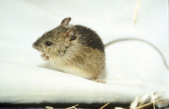 Der Zesty Zapus oder die Hüpfmaus (Quelle: Von U.S. Fish and Wildlife Service - http://mountain-prairie.fws.gov/preble/, Gemeinfrei, https://commons.wikimedia.org/w/index.php?curid=714485)