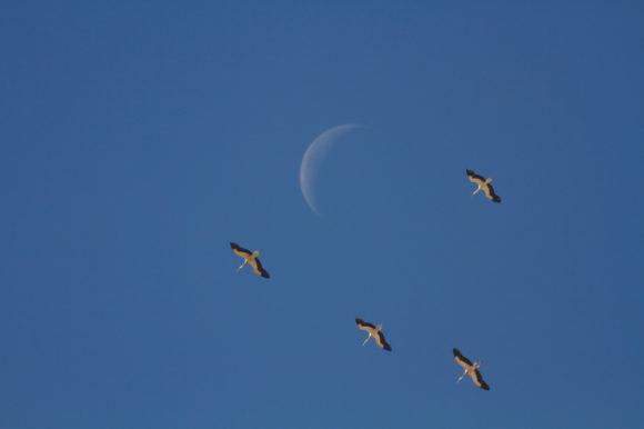 Störche und Mond