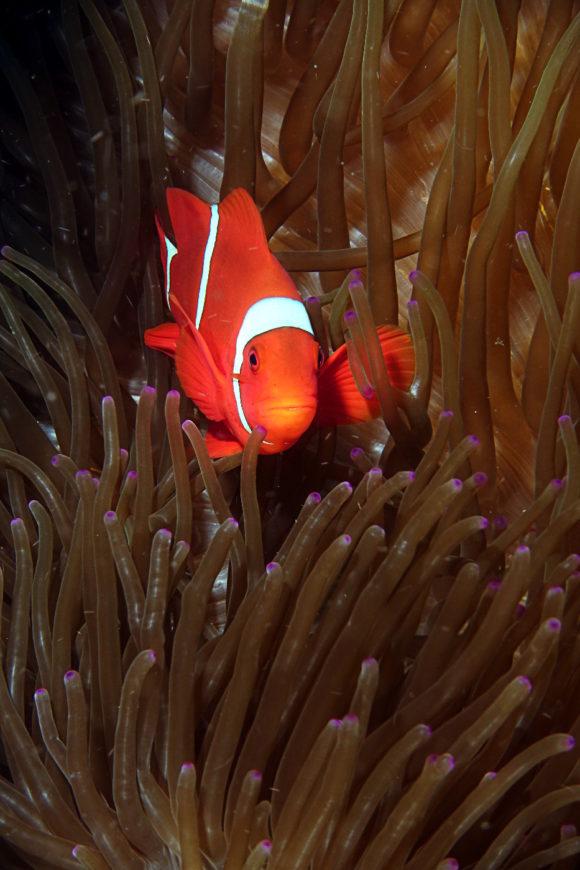 Anemonenfisch / Clownfisch