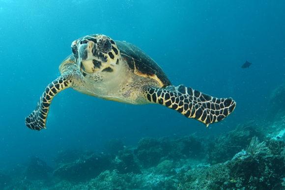 Meeresschildkröte (Karettschildkröte)